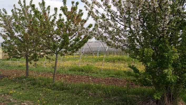 alberi ciliegio in agricoltura biologica certificata